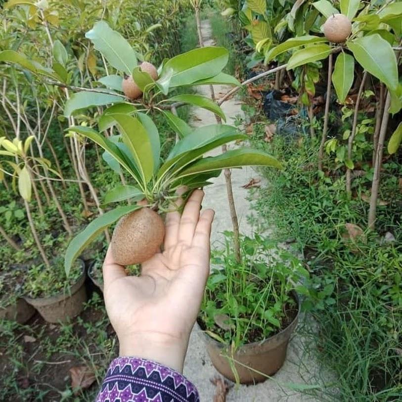 bibit buah sawo jumbo Jayapura