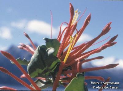 Quintral Tristerix corymbosus