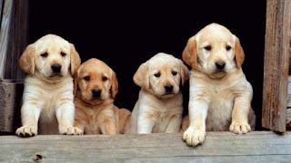 Si vendono cuccioli
