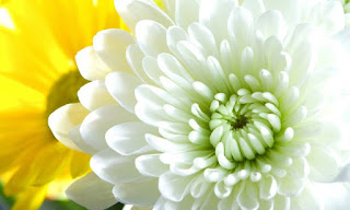 Plantas Mágicas: Crisantemo