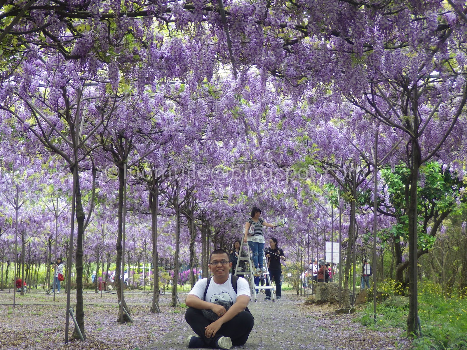 Taiwan wisteria flowers