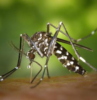 Hama Nyamuk