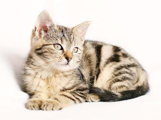 kucing lucu sebagai hewan peliharaan