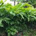 Jual Bibit Pohon Bunga Bungur 081335595272