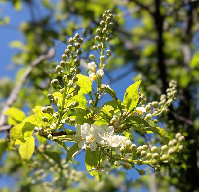 white spring blossoms, bird cherry tree
