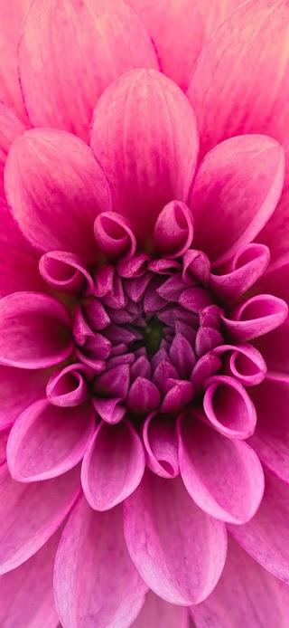 Dahlia pink flower wallpaper