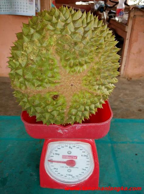 Mengenal Durian Musang King