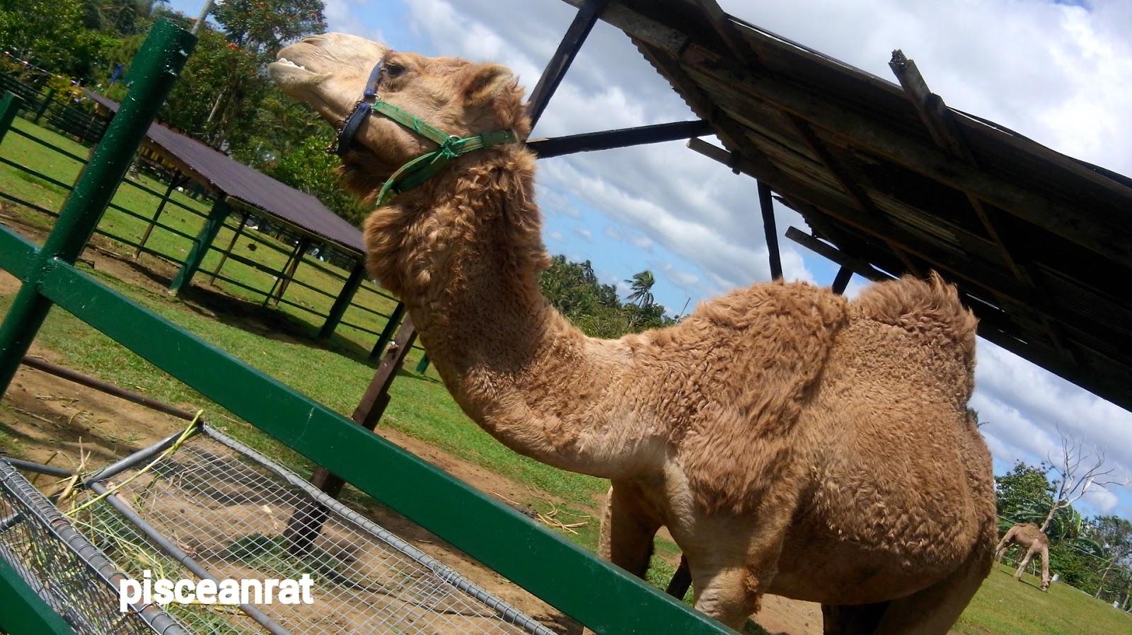 paradizoo, camel,