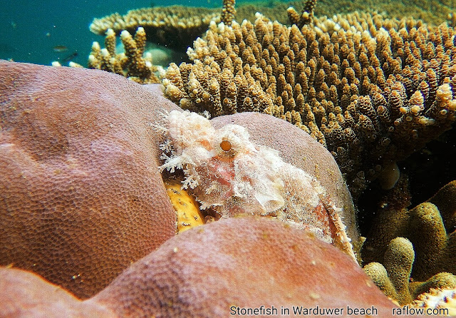 stonefish in coral reef of Waigeo island