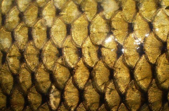 luspa të peshkut të krapit