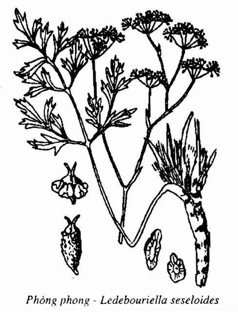 Hình vẽ Phòng Phong - Ledebouriella seseloides - Nguyên liệu làm thuốc Chữa Cảm Sốt