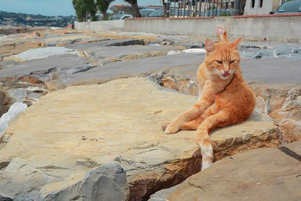 ginger cat washing itself