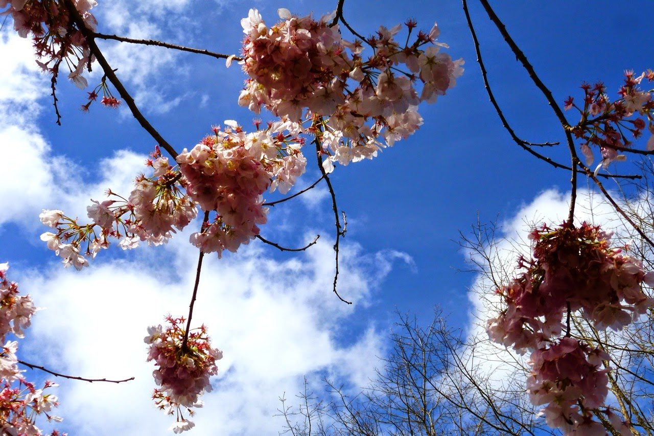 ume hanami, first day of spring, under a plum blossom tree, plum blossom, pink blossom, blue sky, pink blossoms, blossom and sky