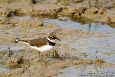 Chorlitejo Grande - Charadrius Hiaticula (fotografia-de-naturaleza.blogspot.com)