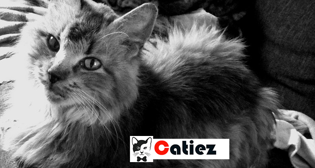 norwegian forest cat - all you want to know about norwegian forest cats