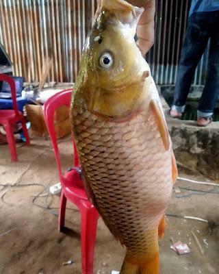 Rahasia Jitu Resep Umpan Ikan Mas