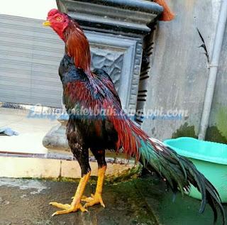 Ciri utama ayam aduan menangan yang kerang diperhatikan