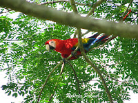 Scarlet Macaw – Costa Rica – July 4, 2011 – photo by Roberta Palmer