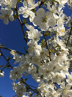 Kirschblüte Blüten Himmel Blau