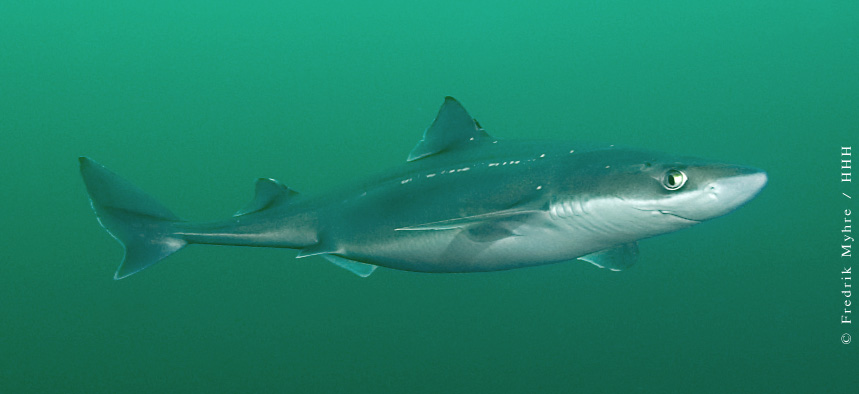 Tiburones en Galicia: Reproducción III: La anatomía reproductiva
