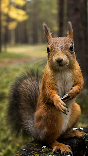 Red Squirrel Mobile HD Wallpaper