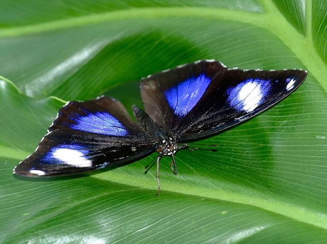 butterfly lawu