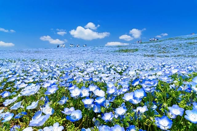O mar azul das nemophilas impressiona no Parque Hitachi Seaside Phubet Juntarungsee/Shutterstock.com