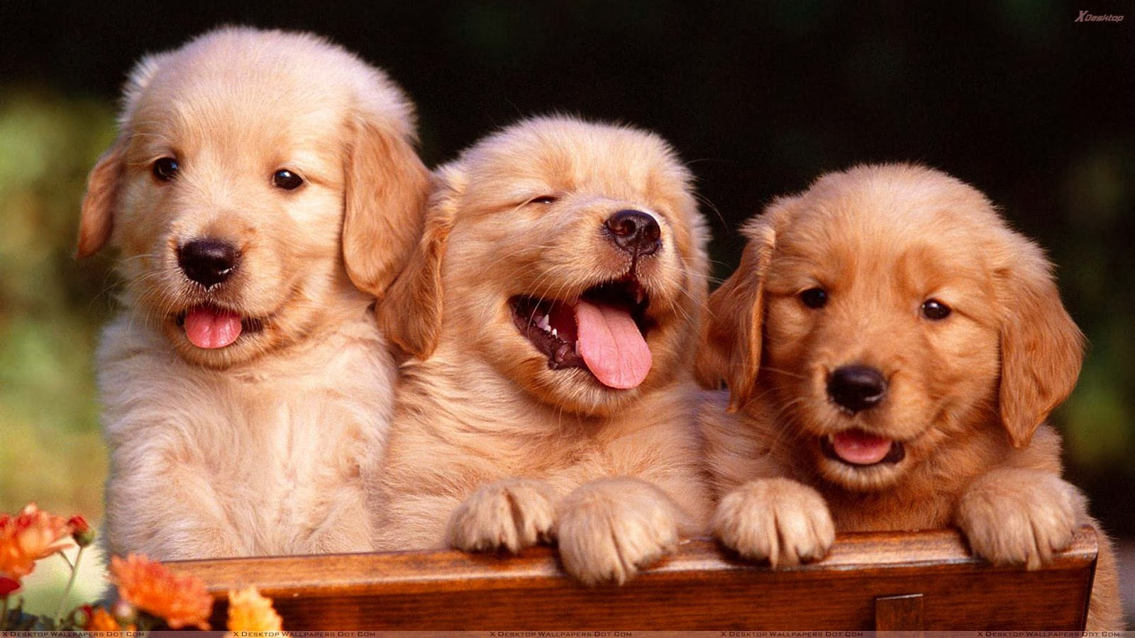 Free Hd Wallpaper Cute Golden Retriever Puppies Wallpaper Image