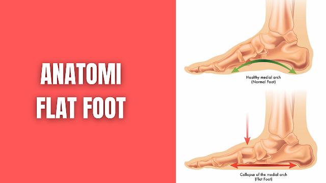 Anatomi Flat Foot Pada Manusia Anatomi Flat Foot Kaki merupakan tumpuan sehari-hari bagi makhluk hidup untuk beraktifitas dalam keseharian, yang menopang seluruh tubuh atau berat badan kita untuk mempertahankan keseimbangan tubuh baik secara statis maupun dinamis, kaki sendiri terbentuk dari susunan tulang, sendi, ligamen serta otot, yang saling melekat satu sama lain. Pentingnya pencegahan deformitas, diagnosis dini, manajemen, yang berkaitan dengan pengetahuan tentang pertumbuhan pada lengkungan kaki sangat berguna, terutama pada masa awal perkembangan aktivitas anak-anak lebih banyak menggunakan kaki yang menopang seluruh anggota tubuh, kalau tubuh sebagai penopang itu tidak kuat tentu saja berakibat tubuh sering jatuh lama kelamaan membuat terjadinya kerusakan bangunan tubuh secara keseluruhan (Ariani, L et all 2009).  Fungsi dan struktur lengkung longitudinal medial dipengaruhi oleh banyak struktur anatomis, pada kaki terdapat tiga lengkung yang yaitu lengkung medial atau lengkung internal terbentuk sepanjang depan ke belakang, tulang-tulang ini saling berkaitan dan berdempetan disatukan oleh ligamen dan didukung oleh otot yang dikaitkan didepan dan belakang tibia. Bagian-bagian lengkung pada kaki: (Ridjal, 2016)    Bagian Lengkung Medial Membentuk tepi medial kaki dari calcaneus merupakan tulang terbesar disebelah belakang dan mengalihkan berat badan ke belakang, talus merupakan titik tertinggi dari telapak kaki bagian sentral dari arkus, navicular & cuneiforme kearah anterior pada 3 metatarsal pertama. Plantar aponeurosis, abduktor hallucis, fleksor digitorum brevis, tibialis anterior, peroneus longus, tibialis posterior, dan fleksor hallucis, ligamen spring yang berfungsi membuat elastisitas bagian-bagian tersebut yang mensuport arkus medial.    Lengkungan Lateral Lengkungan lateral dari calcaneus berjalan melalui cuboideum kearah anterior melewati metatarsal IV danV. Secara normal arkus ini menyentuh bagian tanah/ lantai didukung oleh ligamen plantar, plant