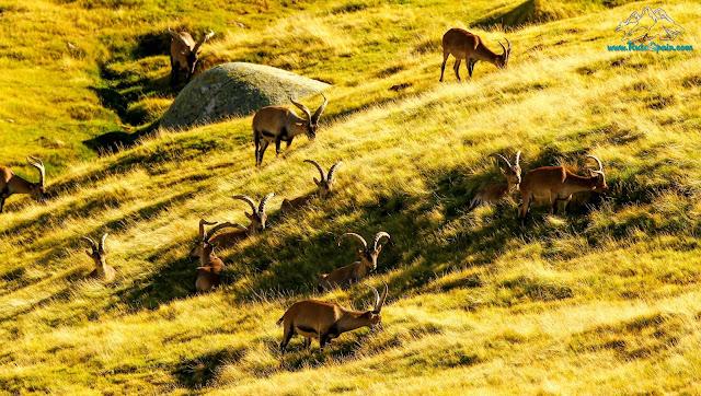 Cabra Ibérica (Capra Pyrenaica) grupo descansando y pastando en gredos