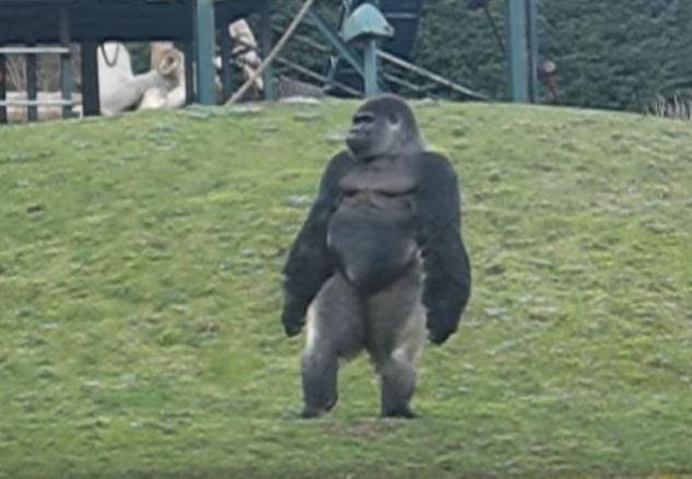 ΕΚΠΛΗΚΤΙΚΟ! Ο Γορίλας που περπατάει σαν άνθρωπος… (ΒΙΝΤΕΟ)