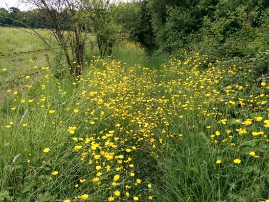 Flowers along a footpath on Walk 41: The Northaw Loop