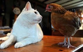 ΑΠΟΛΑΥΣΤΙΚΟ: Γάτα vs Κότα - Ποιος  θα νικήσει τελικά;