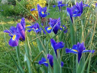 Lirio español (Iris hispánica
