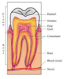 Bagian-bagian Gigi Manusia dan Fungsinya