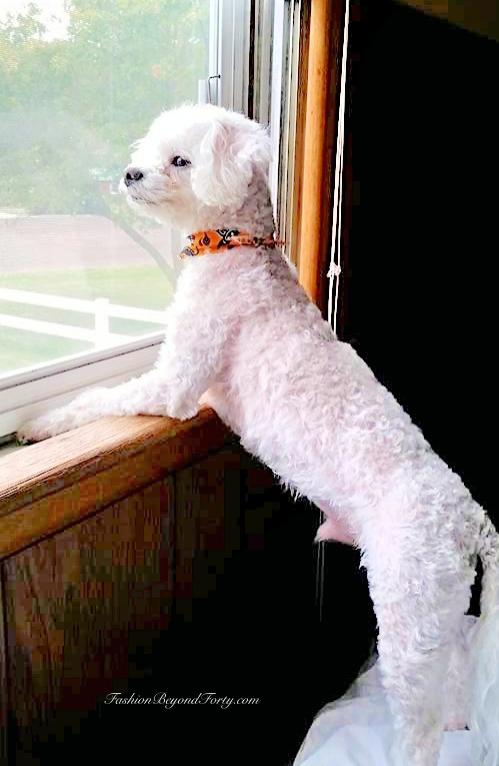 Pet Profile: Romeo My Pup-Uncle The Poodle