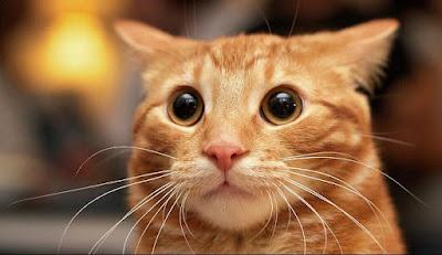 Karakter Ras Kucing Korean Bobtail