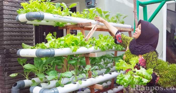 Terdapata Tanaman Hidroponik Di Kota Pekanbaru Jual Biji