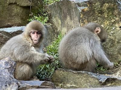 Japanese snow monkey babies in Jigokudani Yaen-Koen Snow Monkey Park in Nagano, Japan