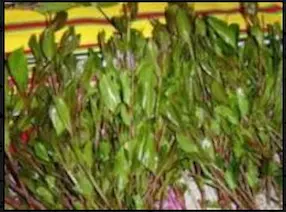 نبات القات