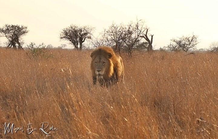 León macho en S-100 Satara