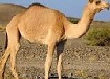 Short Essay on 'Camel' in Hindi   'Oont' par Nibandh (100 Words)