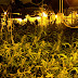 Desmantelan dos plantaciones de marihuana en Santa Olalla