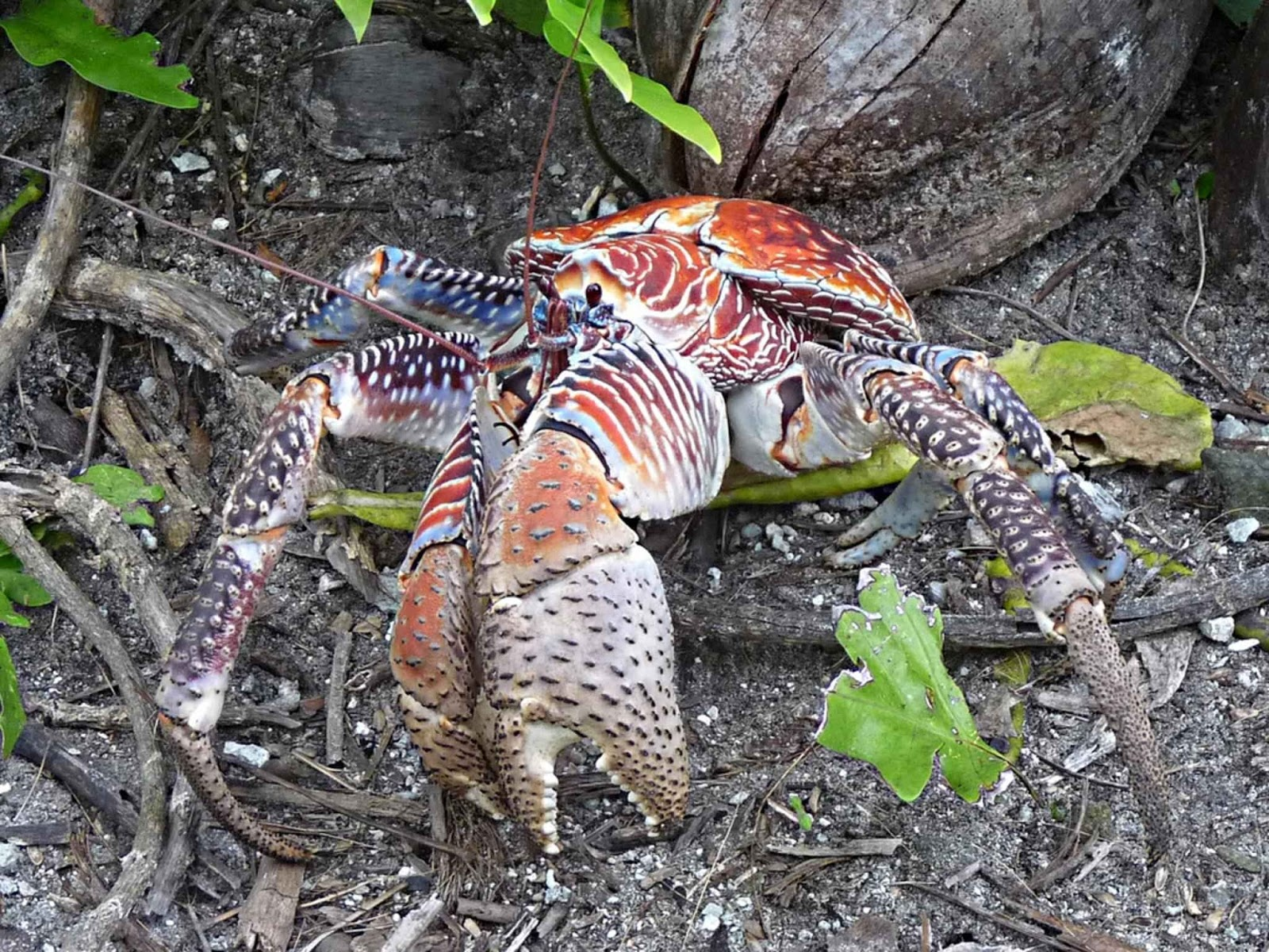 Image of a coconut crab.