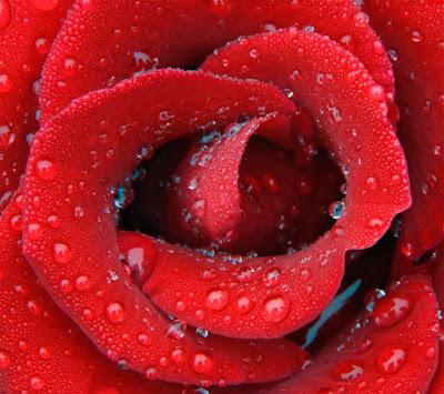 rose macro mobile resolution hd wallpaper