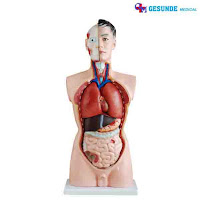 Torso Anatomi Organ Tubuh Pria