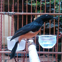 Penyebab Burung Murai Batu Mencabut Bulu Sendiri