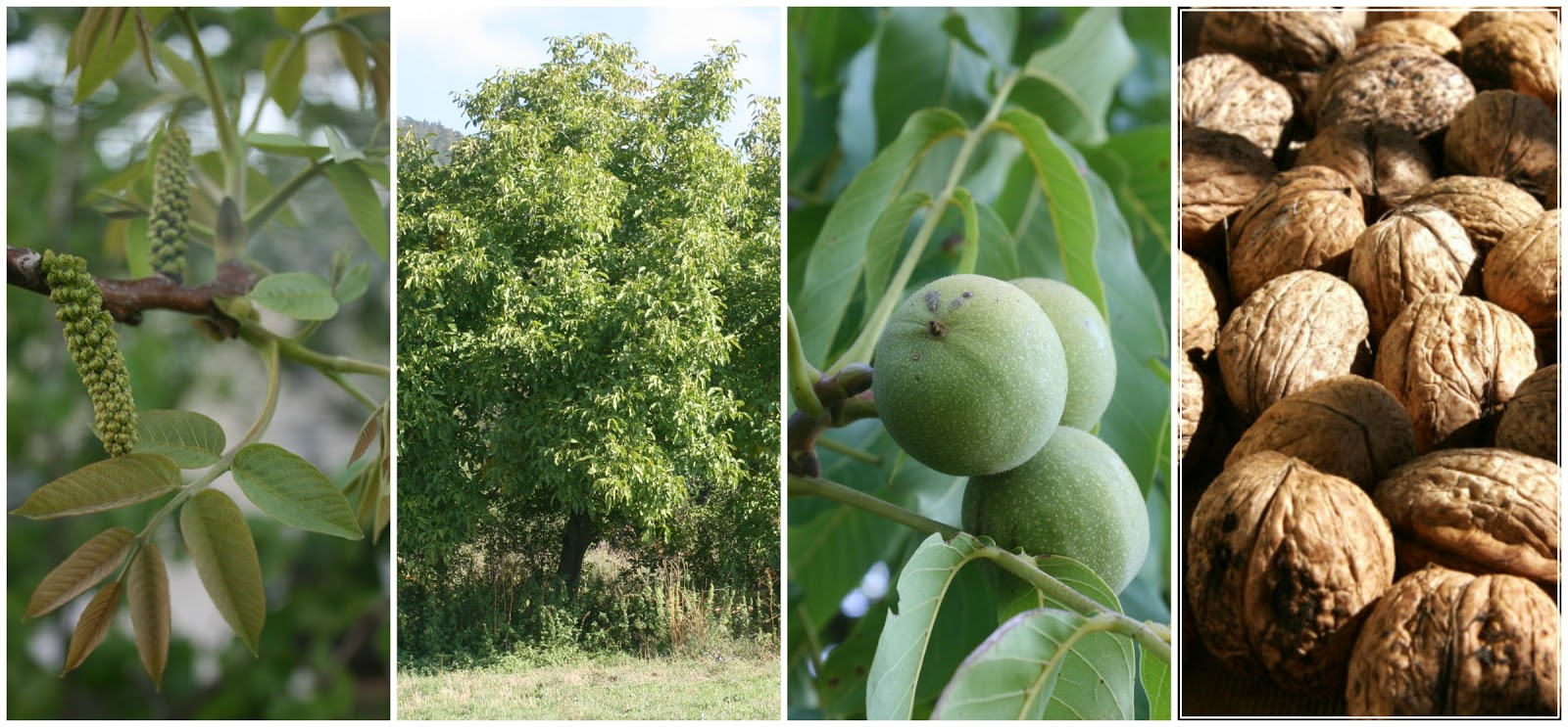 Why You Should Grow Walnuts (Juglans regia) | Permaculture magazine