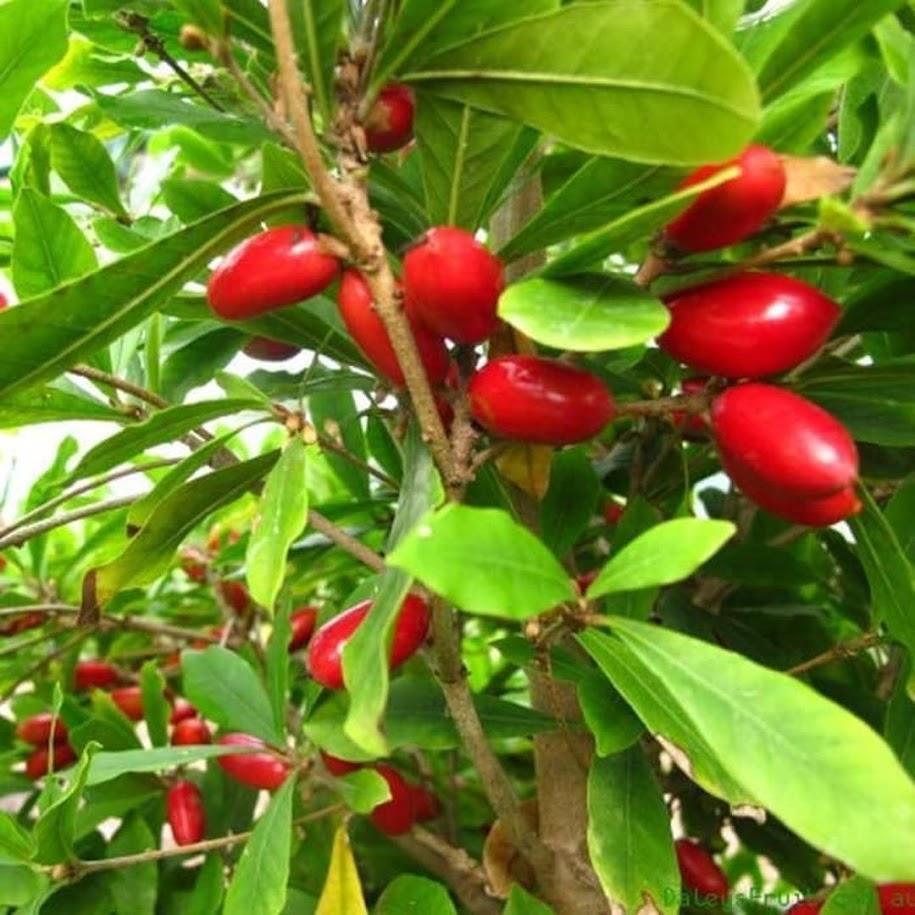 Tanaman Bibit Buah Miracle Fruit Okulasi Cepat Berbuah Kalimantan Utara