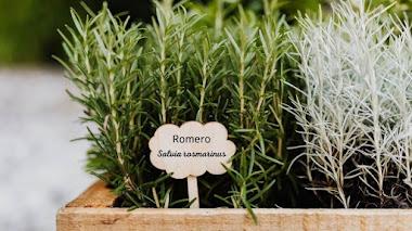 Cuando descubres que el romero es una salvia: Salvia rosmarinus
